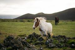 Cavallo islandese nel pascolo Immagine Stock Libera da Diritti
