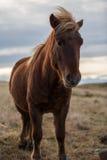 Cavallo islandese nel tramonto selvaggio immagine stock libera da diritti