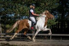 Cavallo islandese in portone ad alta velocità di racking Immagini Stock