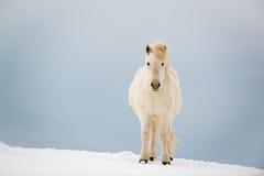 Cavallo islandese sulla neve nell'inverno, Islanda fotografia stock libera da diritti