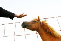 Cavallo isolato che petted Immagini Stock Libere da Diritti