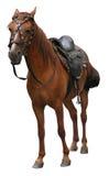 Cavallo isolato su bianco Immagine Stock