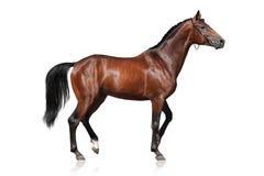 Cavallo isolato su bianco Fotografia Stock Libera da Diritti