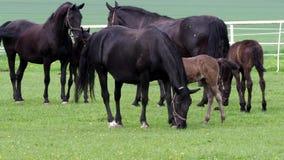 Cavallo kladrubian nero, giumenta con il puledro video d archivio