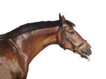 Cavallo la sua lingua fuori Fotografia Stock Libera da Diritti