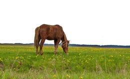 Cavallo legato in un campo dei denti di leone fotografia stock