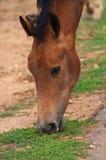 cavallo marrone Fotografie Stock Libere da Diritti