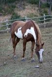 cavallo marrone Fotografie Stock