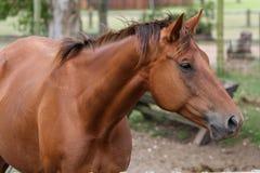 cavallo marrone fotografia stock