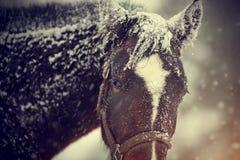 Cavallo marrone bagnato in neve Fotografie Stock Libere da Diritti