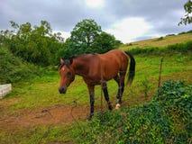 Cavallo marrone di bellezza che cammina attraverso un ranch con il campo di erba verde immagine stock libera da diritti