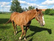 Cavallo marrone domestico Immagine Stock