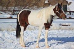 Cavallo maturo su una passeggiata di mattina fotografia stock