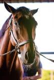 Cavallo messo un freno a fotografia stock libera da diritti