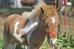 Cavallo miniatura Immagine Stock