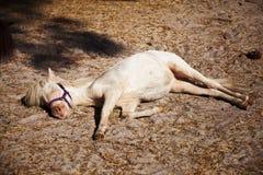 Cavallo miniatura che cattura un pelo di pomeriggio Immagini Stock Libere da Diritti