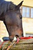 Cavallo mordente della greppia - problema comportamentistico animale immagini stock
