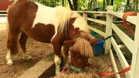 Cavallo nano che mangia erba stock footage