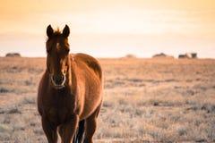 Cavallo nei selvaggi West Immagini Stock