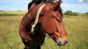 Cavallo nel campo video d archivio