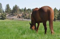 Cavallo nel campo Immagini Stock Libere da Diritti