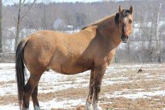 Cavallo nel campo Immagine Stock Libera da Diritti