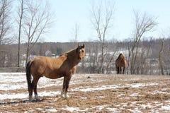 Cavallo nel campo Fotografia Stock