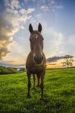 Cavallo nel campo al tramonto Fotografia Stock Libera da Diritti