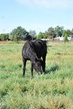 Cavallo nel campo che grazeing Fotografie Stock Libere da Diritti