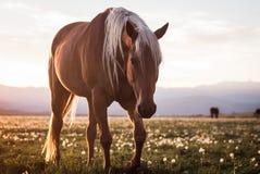 Cavallo nel campo con i denti di leone al tramonto immagini stock libere da diritti