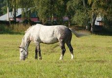 Cavallo nel pascolo Fotografia Stock