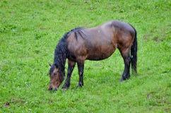 Cavallo nel pascolo e nel cibo dell'erba nella pioggia Fotografia Stock