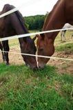 Cavallo nel recinto chiuso Fotografie Stock