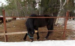 Cavallo nel recinto chiuso nel freddo e nell'alimentazione e nella camminata immagini stock