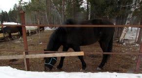 Cavallo nel recinto chiuso nel freddo e nell'alimentazione e nella camminata fotografia stock libera da diritti