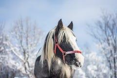 Cavallo nell'inverno Fotografia Stock