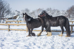 Cavallo nell'inverno Immagine Stock Libera da Diritti