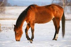 Cavallo nell'inverno sul pascolo Immagini Stock Libere da Diritti