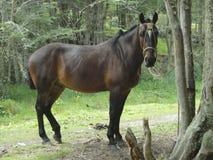 Cavallo nella foresta Fotografia Stock