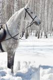Cavallo nella foresta di inverno fotografia stock