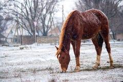 Cavallo nella neve Immagini Stock