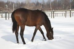 Cavallo nella neve fresca Fotografie Stock Libere da Diritti