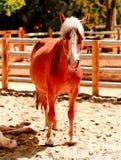 Cavallo nella penna Fotografie Stock Libere da Diritti