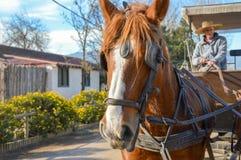 Cavallo nella vigna in argentina fotografia stock