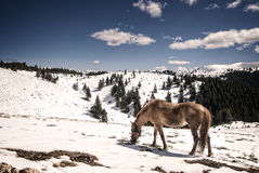 Cavallo nelle montagne Immagine Stock Libera da Diritti