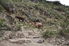 Cavallo nelle montagne Su Inca Trail a Machu Picchu Un timore Fotografie Stock