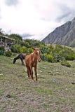 Cavallo nelle montagne Su Inca Trail a Machu Picchu Un timore Fotografia Stock