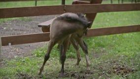 Cavallo nello zoo del contatto video d archivio
