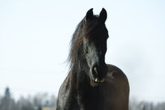 Cavallo nero Immagini Stock