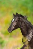 Cavallo nero fotografie stock